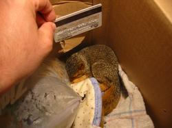 tiny baby squirrel